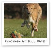 Lurcher hunting display