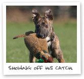 Lurcher hunting show